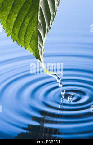 Les gouttelettes d'eau tombant de la feuille à l'origine de rides. Flowering cherry tree leaf. Banque D'Images