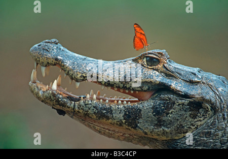 Ours à lunettes Caiman Caiman crocodilus adulte avec Julia Butterfly Dryas iulia Pantanal Brésil Amérique du Sud Banque D'Images
