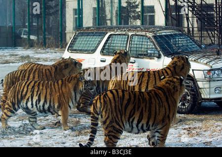 La Chine, le nord-est de la Chine, Heilongjiang Province, ville de Harbin, Siberian Tiger Park. Un groupe de tigres Banque D'Images