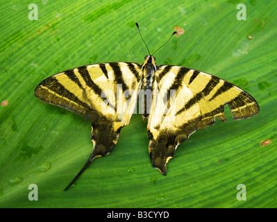 Tiger papillon à queue fourchue Banque D'Images