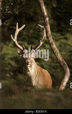 Red Deer stag Cervus elaphus pâturage sur l'île de Jura Hébrides intérieures Scotland UK Banque D'Images