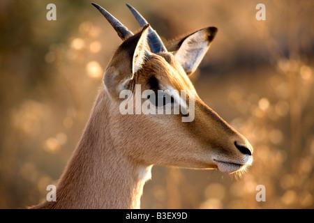 Jeune taureau Impala (Aepyceros melampus) tôt le matin, dans le Parc National Kruger en Afrique du Sud, en hiver.