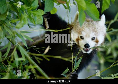 Panda Ailurus fulgens Panda rouge Banque D'Images