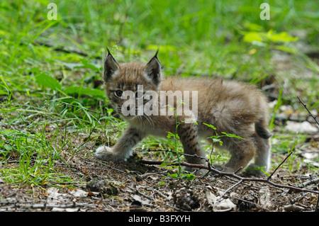 Europäischer Luchs Jungtier Felis lynx Lynx cub Bayern Bavière Deutschland Allemagne Banque D'Images