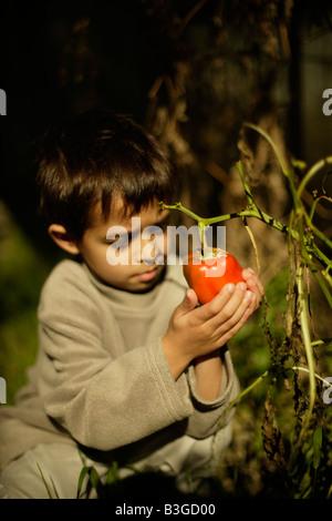 Six ans de culture biologique est le poivron rouge dans un potager négligé par les chenilles dépouillé de feuilles Banque D'Images