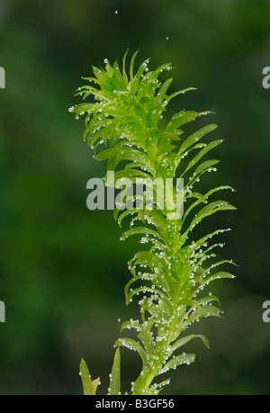plante aquatique elodea banque d 39 images photo stock 10346920 alamy. Black Bedroom Furniture Sets. Home Design Ideas