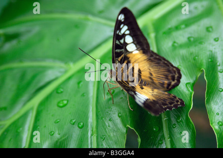 Asiatique exotique tropical Clipper butterfly Parthenos sylvia assise sur une feuille verte Banque D'Images