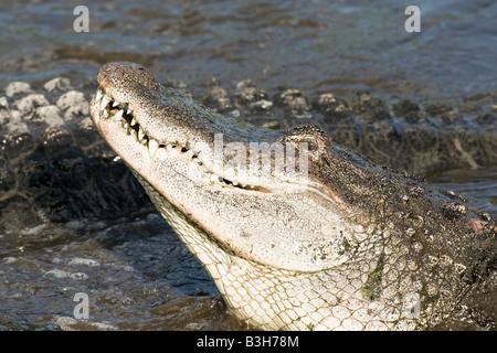 Un gros plan de la tête d'un alligator Banque D'Images
