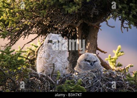 Grand Duc nid Parc National Denali en Alaska Banque D'Images