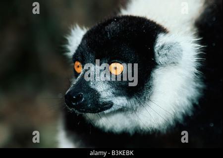 Noir et blanc de la Gélinotte Lemur Le Varecia variegata hot Madagascar Afrique Banque D'Images