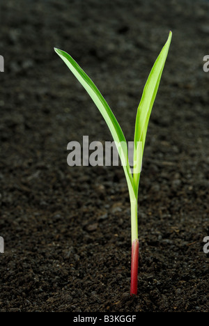 Des semis de maïs Zea mays émergeant de sol noir l'usine est 12 semaines Banque D'Images