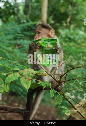 Un singe transportant du papier plastique Banque D'Images