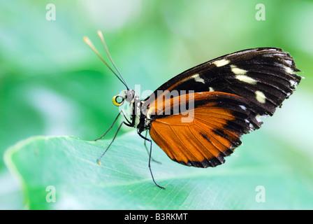 Or l'Amérique du Sud exotiques tropicaux papillon Heliconius hecale Helicon assis sur un green lea Banque D'Images