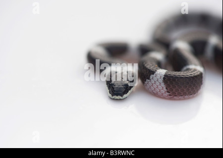 Lycodon septentrionalis. White-Banded juvénile Wolf Snake sur fond blanc Banque D'Images
