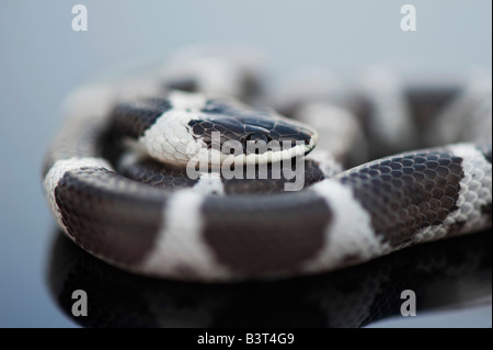 Lycodon septentrionalis. White-Banded juvénile Wolf Snake sur fond sombre Banque D'Images