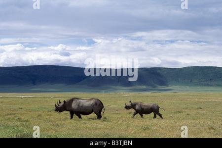 La Tanzanie, le nord de la Tanzanie, une mère rhinocéros noir et les petits sont écrasés par leur environnement Banque D'Images
