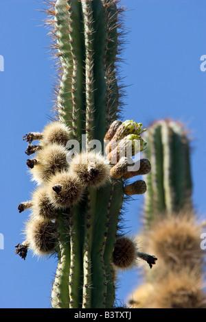 Graines de fleurs fleurs de cactus désert Mexique Banque D'Images