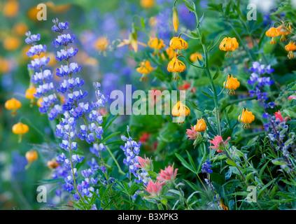 La plupart des fleurs sauvages mixtes pinceau lupin et Tiger Lily Hurricane Ridge Olympic National Park Washington Banque D'Images