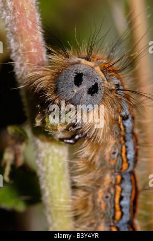 Laquais espèce Malacosoma neustrie faux visage yeux oeil-tête taches taches oculaires alimentation caterpillar UK Banque D'Images