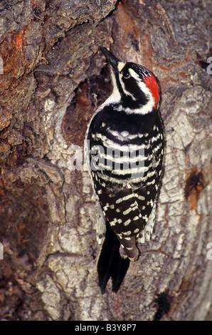 États-unis, Californie, l'Est de la Sierra Nevada, Lee Vining. Le pic de Nuttall sauvage mâle sur l'arbre de la Banque D'Images