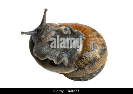 Escargot Helix aspersa sur il s retour pour ainsi dire isolé sur fond blanc Banque D'Images