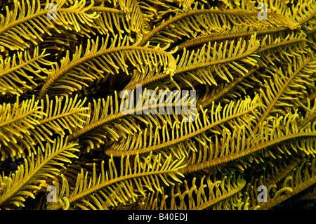 Crinoïde dans les récifs coralliens dans le Parc National de Komodo Komodo en Indonesi Banque D'Images
