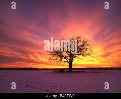Lone Oak Tree au lever du soleil en hiver Minnesota USA Banque D'Images