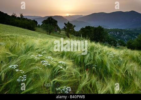 À l'aube dans un champ d'orge donnant sur la Valnerina près de Meggiano, Ombrie, Italie Banque D'Images