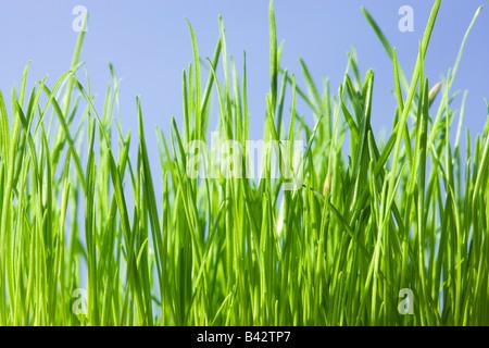 L'herbe, low angle contre le ciel bleu.