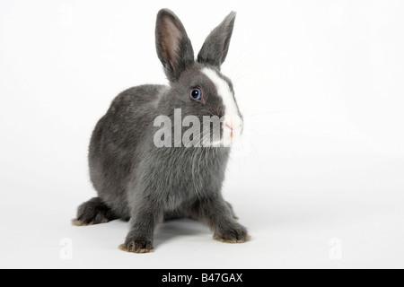Lapin nain blanc bleu avec 15 semaines lapin domestique
