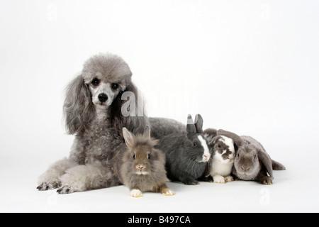 Caniche miniature argent avec jeune Nain Lapin lapin nain à crinière de lion et Lop oreilles lapins nains