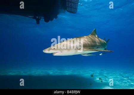 Requin citron Negaprion brevirostris nage sous voile Extrémité Ouest de l'Océan Atlantique Grand Bahama Banque D'Images