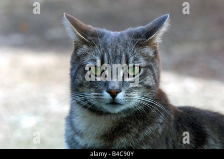 Portrait d'un chat gris et blanc Tom