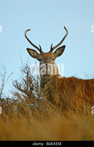 Red Deer Cervus elaphus seul mâle adulte debout dans la longue herbe prises Octobre Isle of Jura Argyll Scotland Banque D'Images