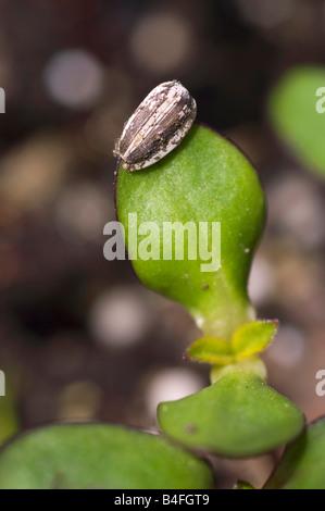 Sortir de la plante de tournesol Graines Banque D'Images