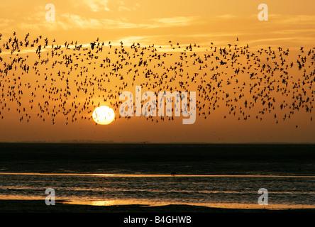 Troupeau d'échassiers survolant les vasières au cours de coucher du soleil à King's Lynn, Norfolk en janvier. Banque D'Images