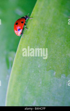 Close-up de sept Coccinelle (Coccinella septempunctata Spot) on leaf Banque D'Images