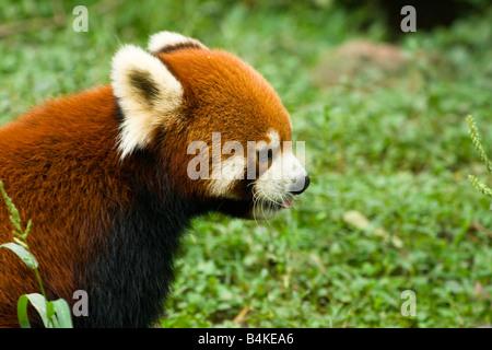 Un panda rouge (Ailurus fulgens) Chengdu Panda Chine Centre de recherche et de reproduction Banque D'Images