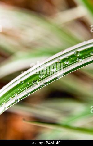 Gouttes de pluie sur l'herbe d'ornement, vue en gros plan. Banque D'Images