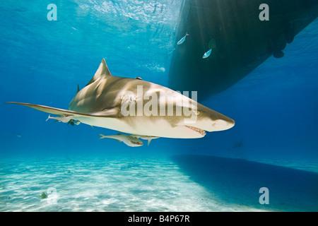 Le requin, Negaprion brevirostris, avec sharksuckers Echeneis naucrates, natation, sous voile, Grand Bahama, Bahamas, Banque D'Images