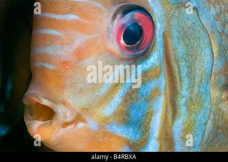 Pompadour diskus SANTAREM DISCUS Cichlidés poissons gros plan portrait visage yeux rouges bouche mâle bleu cyan orange rouge