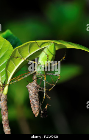 Un green spider lynx (Peucetia viridans) s'en prennent à un bug.