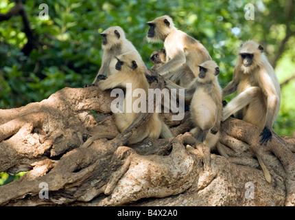 Un groupe familial de langurs gris sur un arbre banian, fort de Ranthambore, parc national de Ranthambore, Rajasthan, Banque D'Images