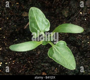 Lampourde épineuse Xanthium spinosum avec semis cotylédons et deux vraies feuilles Banque D'Images