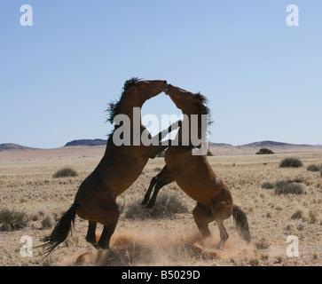 Désert du Namib Namibie Afrique animal sauvage cheval Banque D'Images