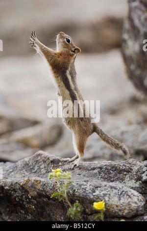 Le Spermophile à mante dorée Spermophilus lateralis femme Rocky Mountain National Park Colorado USA Banque D'Images