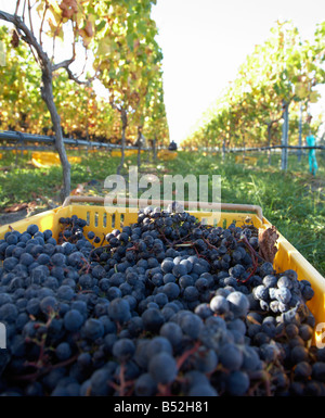 Panier de mûres cueillies à la main les raisins de merlot Banque D'Images
