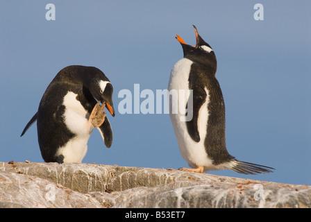 Deux manchots - debout sur rock / Pygoscelis papua