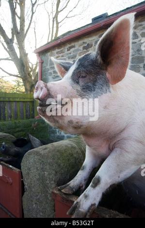 Vieux Cochon Gloucestershire Spot sur son orgelet Banque D'Images