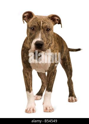 American Staffordshire terrier chiot 5 mois devant un fond blanc